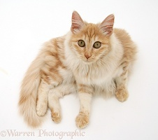 Red silver Turkish Angora cat, lying and looking up