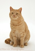Ginger British shorthair cat