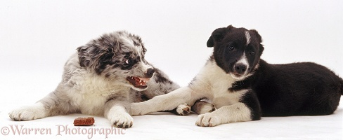 Border Collie pup showing aggression