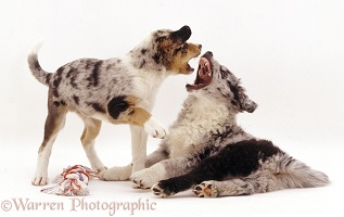Border Collie pups arguing over possession of a toy