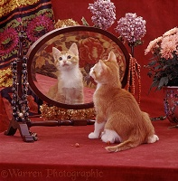 Ginger kitten looking in mirror