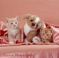 Ginger kittens with toy puppy under a blanket