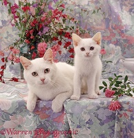 Amber-eyed white cat and kitten