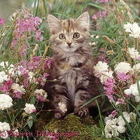 Fluffy tabby kitten among pink and white flowers