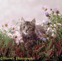 Fluffy tabby kitten among pink daisies and heather