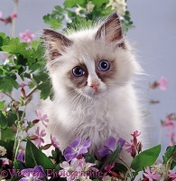 Ragdoll kitten among spring flowers