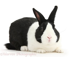 Black Dutch male rabbit