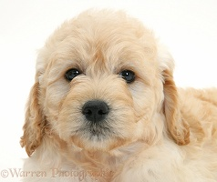 Miniature Goldendoodle pup, 7 weeks old