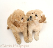 Miniature Goldendoodle pups, 7 weeks old