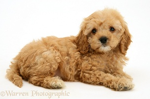 American Cockapoo puppy, 8 weeks old