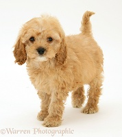 American Cockapoo puppy, 8 weeks old, standing