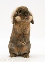 Lionhead rabbit standing up