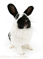 Black-and-white spotted rabbit
