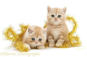 Ginger kittens with yellow Christmas tinsel