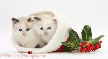 Ragdoll-cross kittens in a Santa hat with holly