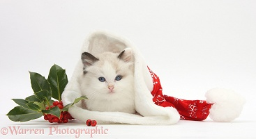 Ragdoll-cross kitten in a Santa hat with holly
