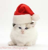 Ragdoll-cross kitten wearing a Santa hat