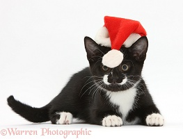 Black-and-white kitten with Santa hat