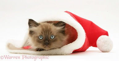 Chocolate Birman-cross kitten in a Santa hat