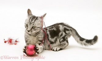 Silver tabby kitten trying to murder Christmas decorations