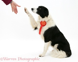 Border Collie bitch wearing a rosette