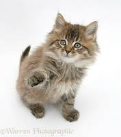 Maine Coon kitten, 8 weeks old, reaching up with paw