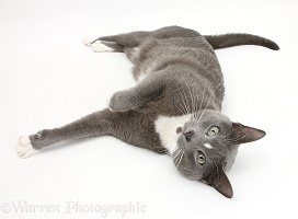 Blue-and-white Burmese-cross cat