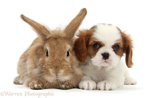 Cavalier King Charles Spaniel pup and rabbit