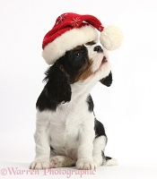 Cavalier puppy wearing a Santa hat