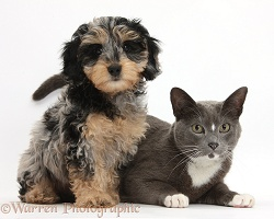 Cute Daxiedoodle puppy and Burmese-cross cat