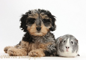 Cute Daxiedoodle puppy and Guinea pig