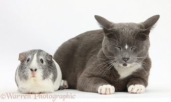 Blue-and-white Burmese-cross cat and Guinea pig