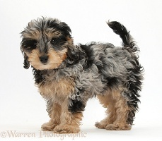 Cute tricolour merle Daxiedoodle puppy
