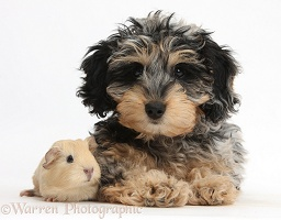 Cute Daxiedoodle puppy and baby Guinea pig