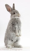 Baby silver bunny standing up