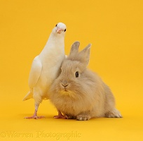 White dove and fluffy bunny on yellow background