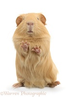 Yellow Guinea pig standing up