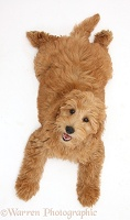 Cute Goldendoodle puppy lying sprawled and looking up