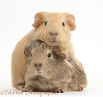 Two baby Guinea pigs