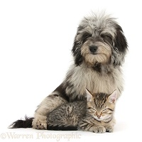 Cute sleepy tabby kitten with Daxiedoodle pup