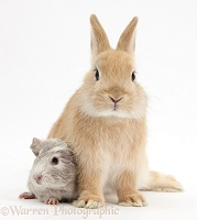 Sandy Netherland Dwarf bunny and baby Guinea pig