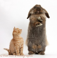 Ginger kitten and Lionhead-Lop rabbit