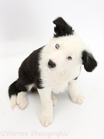 Black-and-white Border Collie puppy sitting and looking up