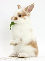 Young rabbit standing up on haunches and eating a leaf
