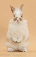 Young rabbit and standing on beige background