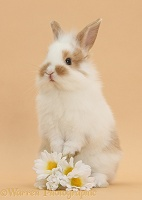 Young rabbit and daisy flowers on beige background