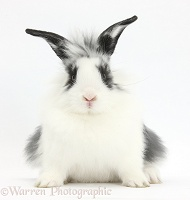 Young Lionhead-cross rabbit
