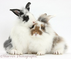 Two young Lionhead-cross rabbits
