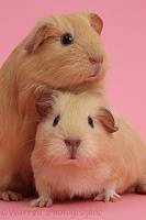 Baby yellow Guinea pigs on pink background