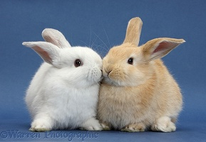White rabbit and Sandy rabbit kissing on blue background